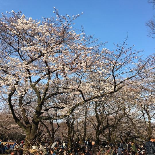 代々木公園 桜.jpg